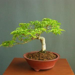 盆栽文化のブログ