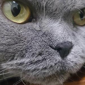セルカークレックスという猫「瑠璃様」 時々本気だす!