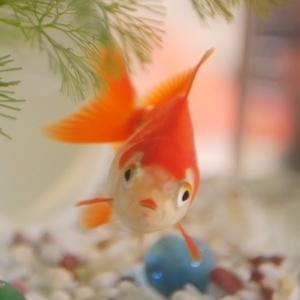 うちの金魚!