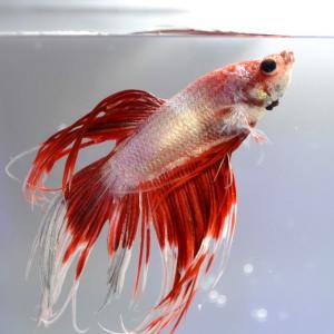ねむたい熱帯魚ブログ