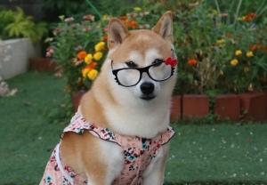 マイア 柴犬ですが服着て悪い?