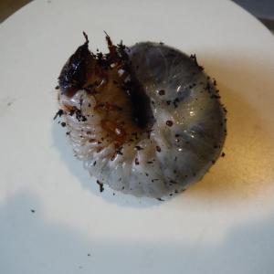 ワインレッドのカブト虫