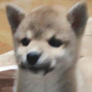 柴犬ゆき富山市