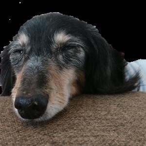 うちのシニアっ犬
