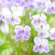 すみれの花を咲かせましょう
