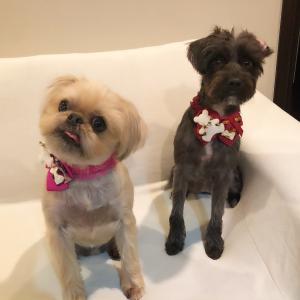 レア犬ブリュッセルグリフォンと保護犬との生活ブログ