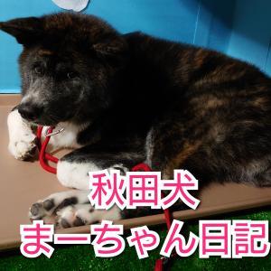 秋田犬まーちゃん日記