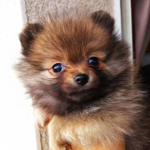 我が家のアイドル犬【ポメラニアンのハニー】