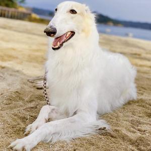 ボルゾイ ゴルバちょふの日本一周犬旅ブログ