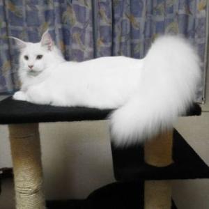 ♡メインクーンの子猫情報♡