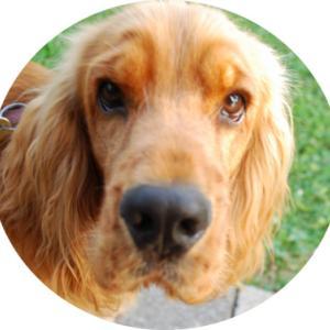 イングリッシュコッカースパニエルの犬日記