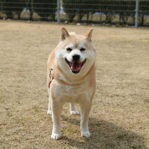 柴犬あずきちゃんとばぁばのブログ