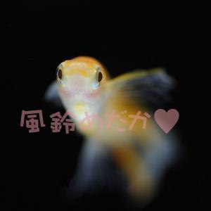 ♥風鈴めだか♥ メダカ飼育・育成・繁殖
