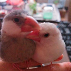 白文鳥ピーリー桜文鳥なるとシルバー文鳥クロムのブログ