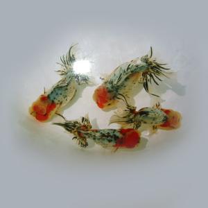 こだわりのモザイク透明鱗『蒼い錦魚』のブログ