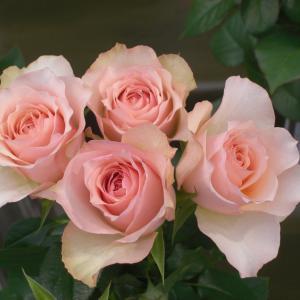 Rose Lemuria(ローズレムリア)