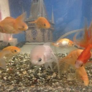 金魚と暮らす毎日