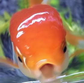金魚の福ちゃんさんのプロフィール