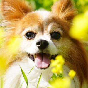 パピヨン犬 サリー☆*:.。. のんびり日和 .。.:*☆