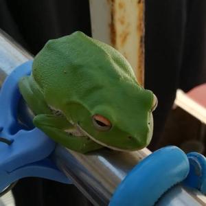 青い蛙の菜園日記