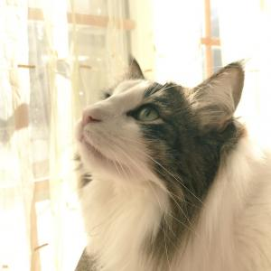 *Cattery Titi*~Norwegian forest cat~