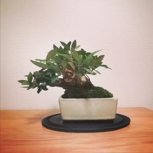 趣味の盆栽