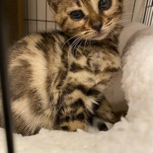 ベンガル猫ココのブログ