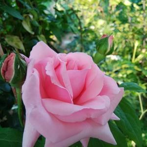 愛しい 庭の花たち