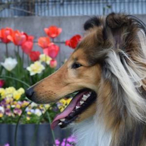 かわいいコリー犬 ジャッキー