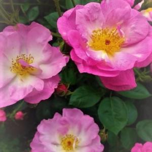 ビオラの咲く庭