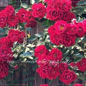 *Rose Diary*(節約日記)