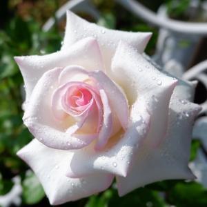 薔薇好きまっさんの日記