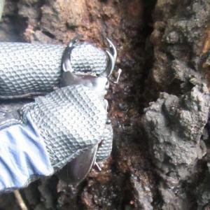 wild okuwa の クワガタ 樹液採集メモ