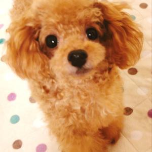 極小トイプーまろんの完全手作りごはんBLOG~本当に正しい犬の食生活とは~