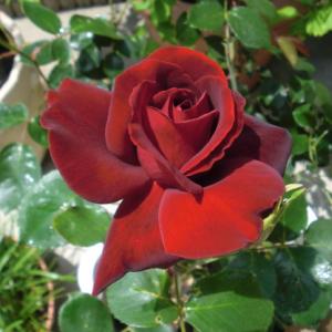 無農薬バラ栽培のブログ