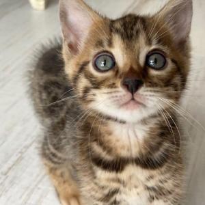 ベンガル猫 ベンガル君のFIP闘病ブログ
