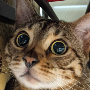 ベンガル猫 ベンガル君ブログ