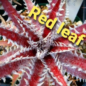 「Red leaf」「慈愛メダカ」の植物と改良メダカの紹介。育て方、育種、小売り情報ブログ。