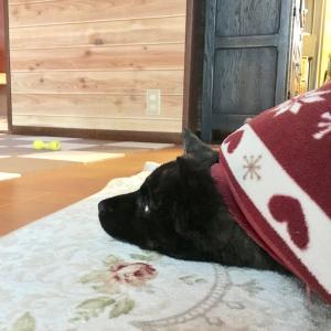 甲斐犬サンのゴボウのシッポ