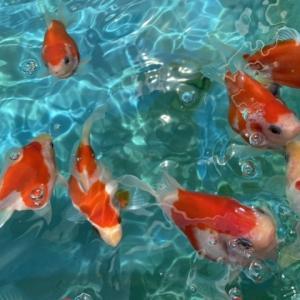 金魚とキャンプ