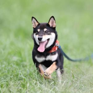 柴犬ブログ。育犬は自分育て、じぶんが変われば犬も変わる