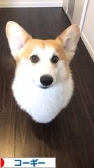 コーギー犬くうのブログ