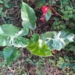 斑入りクワズイモと塊根植物の仲間たち
