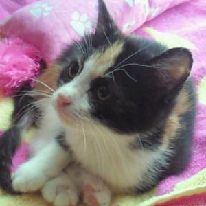 OjoKuro(おじょくろ)-「三毛猫おじょー 」と「黒猫クロ」と「てっぺんファーム」」
