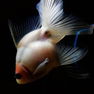 金魚と筋トレ