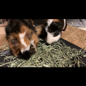 Life with Guineapigs