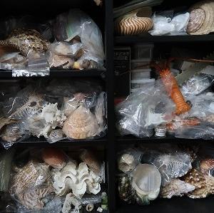 かじぺたのカイガラスゾーン 貝殻コレクション