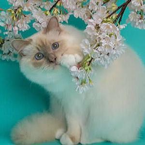 幸運を運ぶ子猫-バーマン専門ブリーダー☆SoulmateDollそうる☆そうるめいとどーる‐