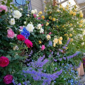 庭がなくても鉢バラでローズガーデン