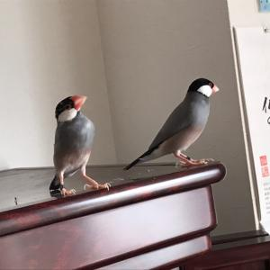 桜文鳥のナナとムー